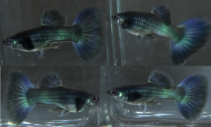 Moscow black-Green juvenile 3 monts