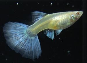 albino sky blue high dorsal Female 2